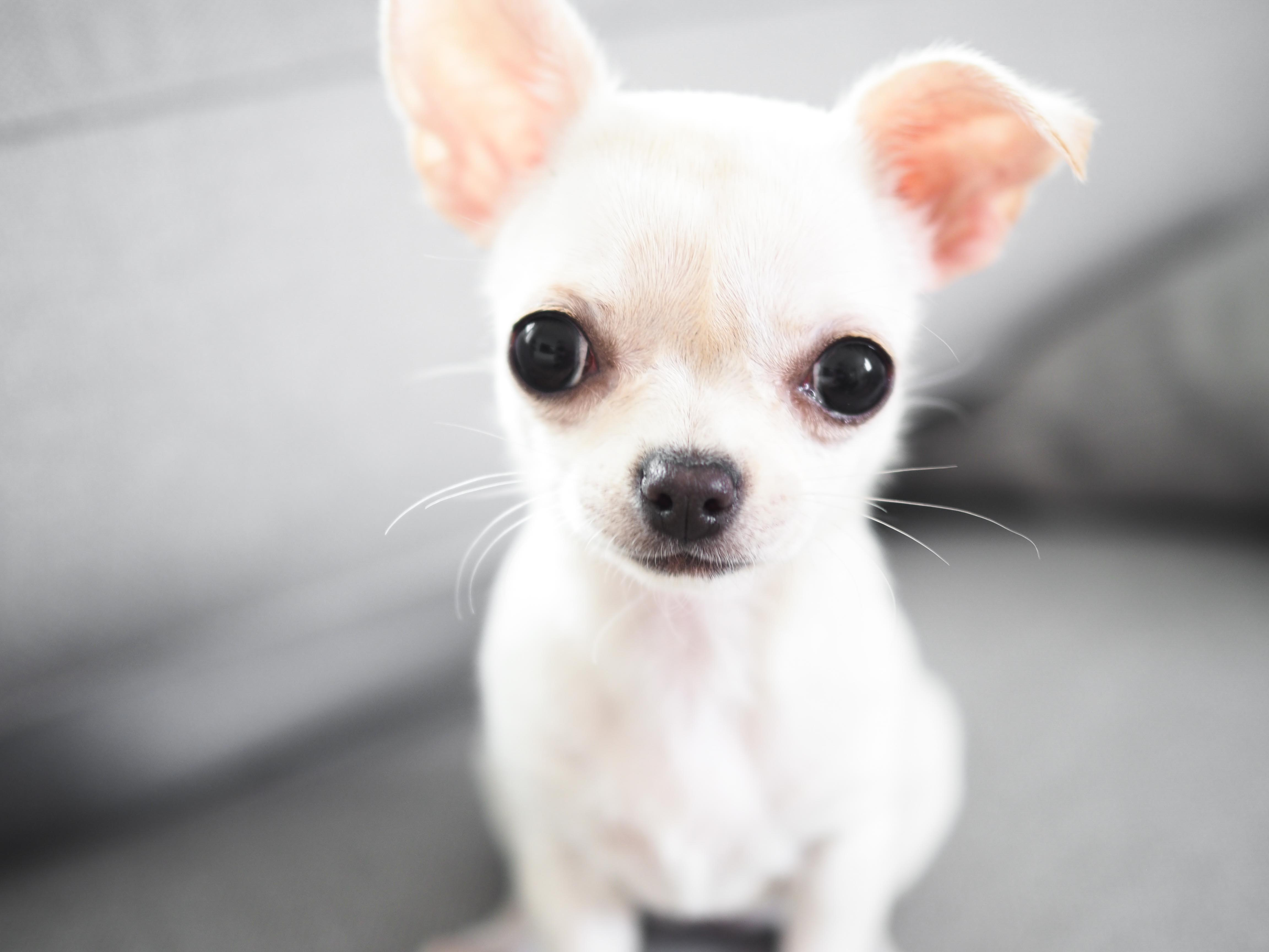 chihuahua-koiranpentu