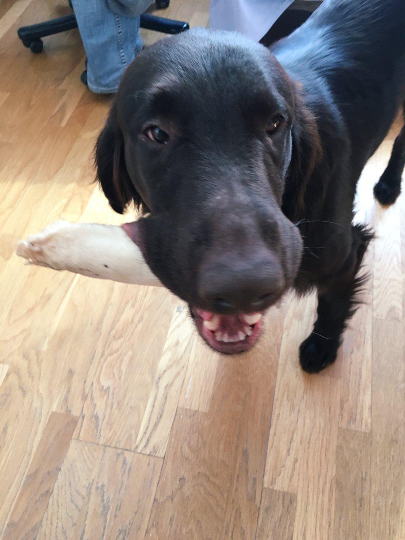 Koiranravinto.sileakarvainen.kultainennoutaja