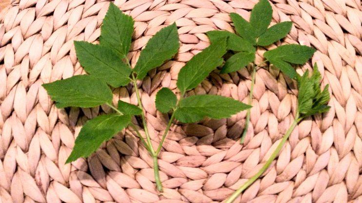Vuohenputken nuoret, suppuiset lehdet ovat parhaimpia, mutta vaikeimmin tunnistettavissa. Varmista, että kasvi on vuohenputki, koska sen voi nuorena sekoittaa muihin, myrkyllisiin kasveihin. Kasvin lehdet kasvavat kolmisormisesti, kuitenkin nuorempana alemmat lehdet ovat usein pareittain.