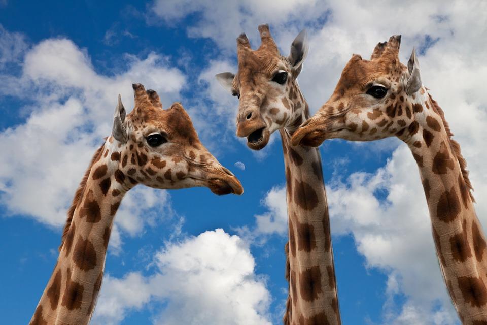 giraffes_sponchia_pixabay.jpg