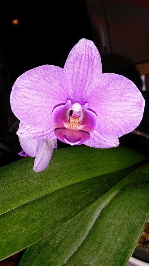 pinkki-orkidea.jpg