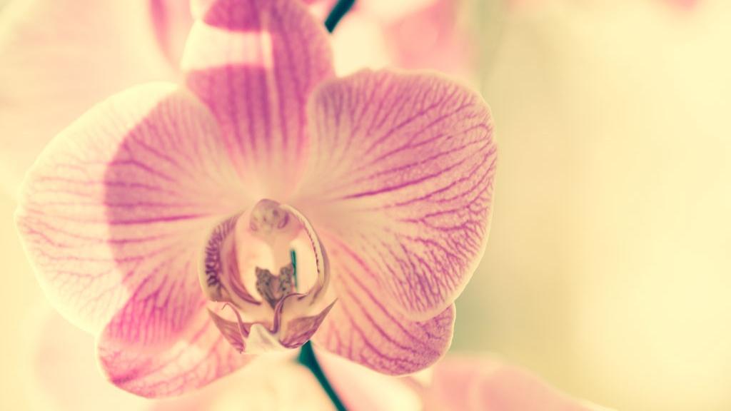 vaal.pun_.-orkidea.jpg