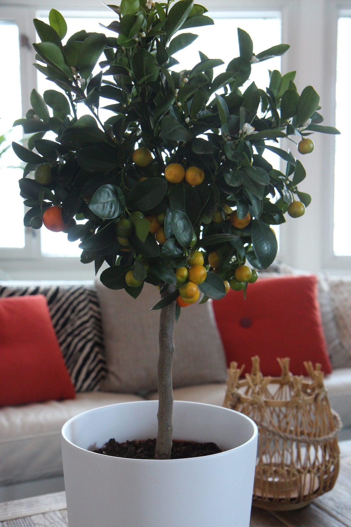 Kun kasvihullu kohtasi sitruspuun