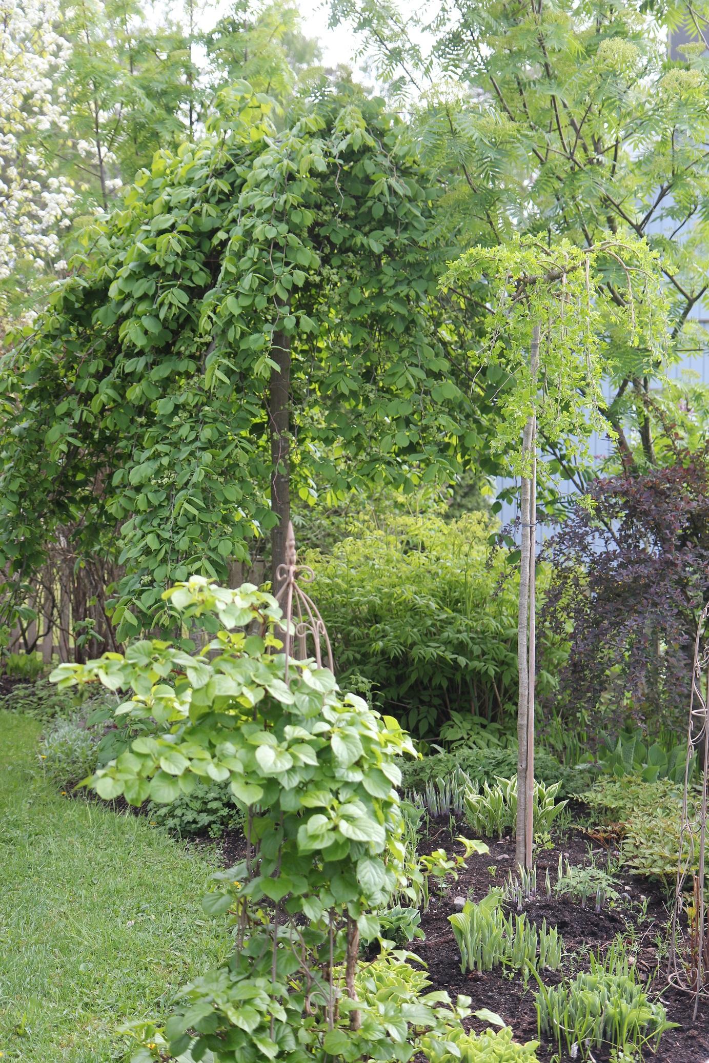 Maksaruohoja ja kaksi kaunista pikkupuuta