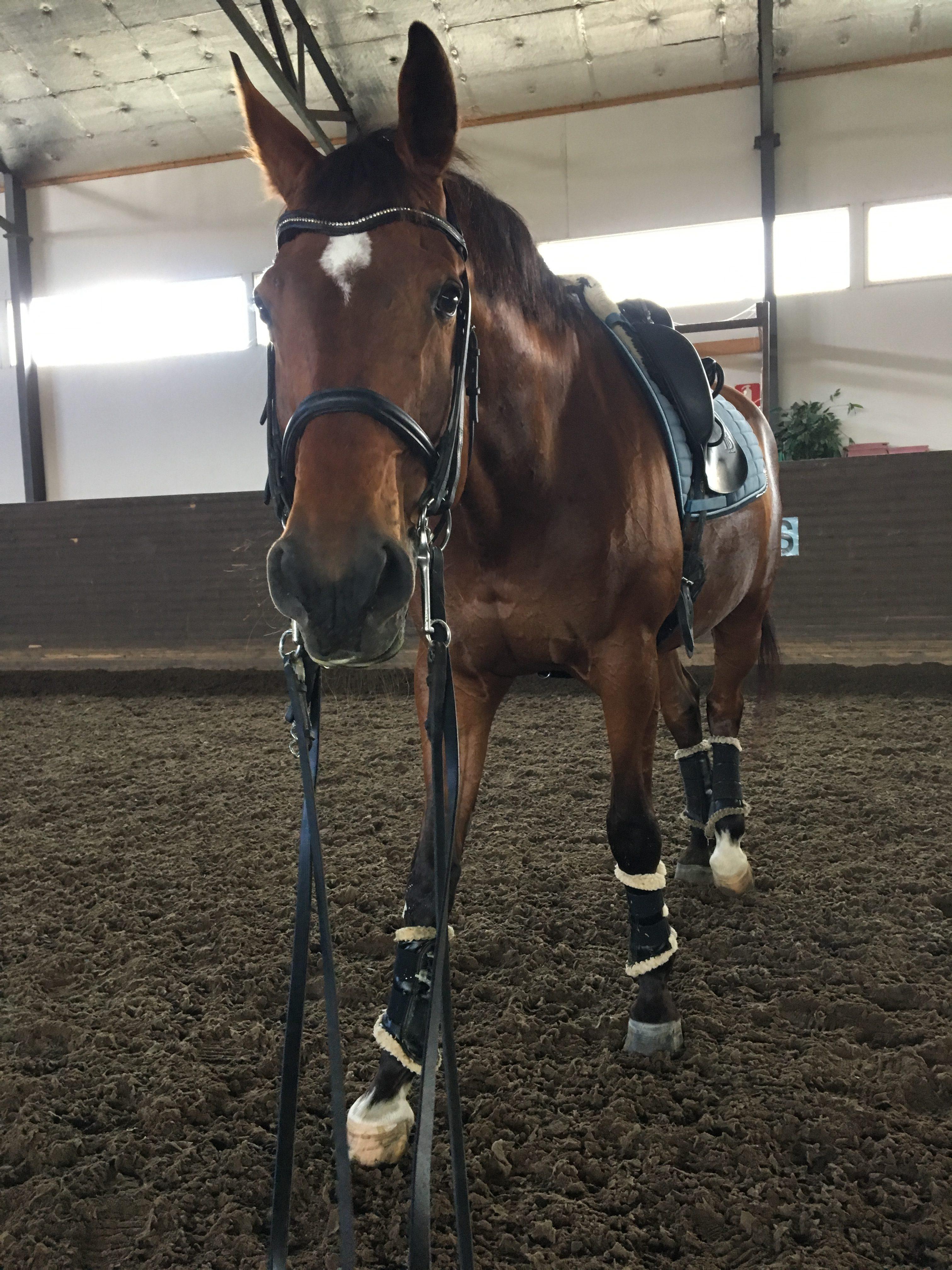 Horse, dressagehorse