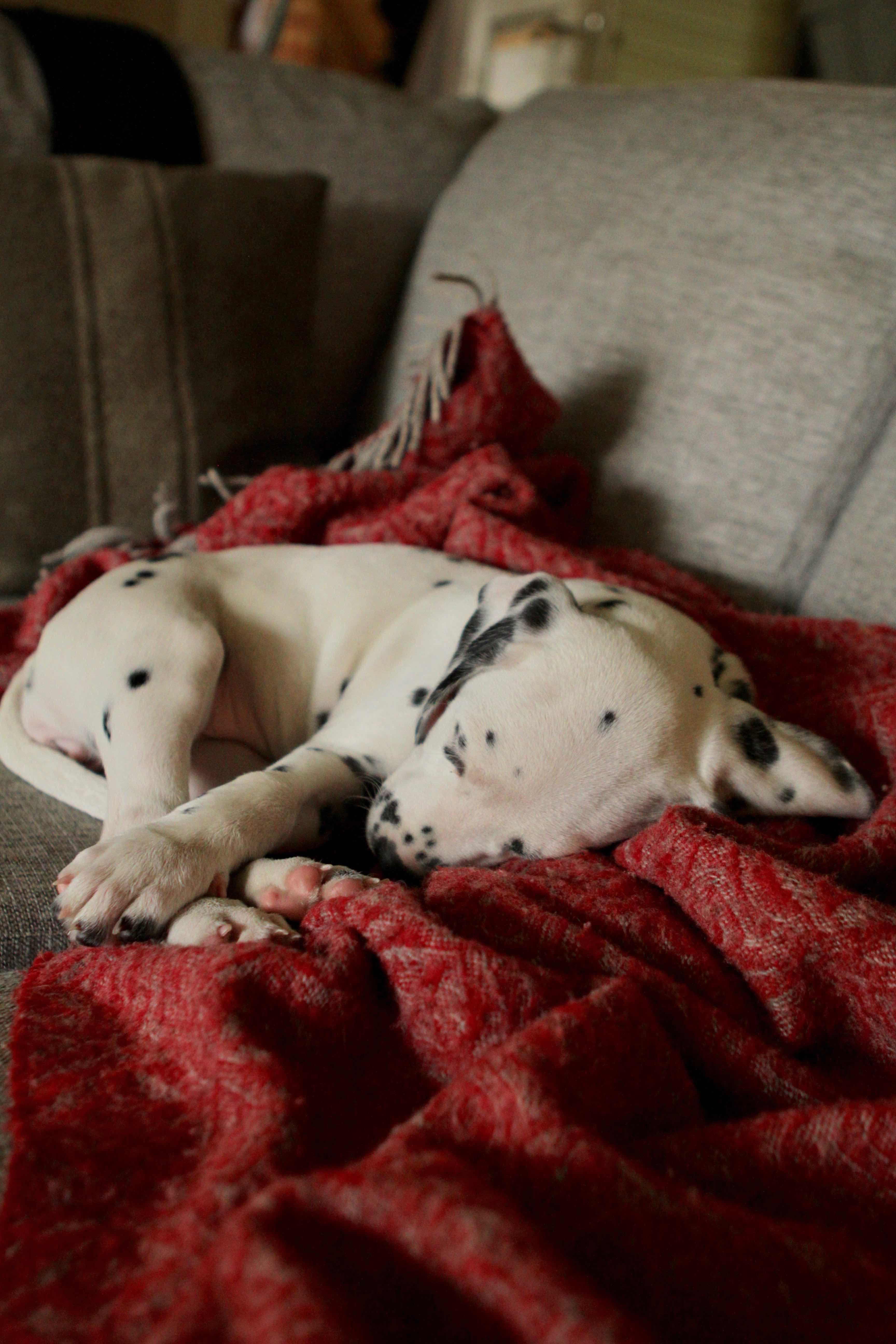 dalmatian puppy, sleeping puppy, puppy, dalmatian, dalmatialainen, koiranpentu, pentukoira