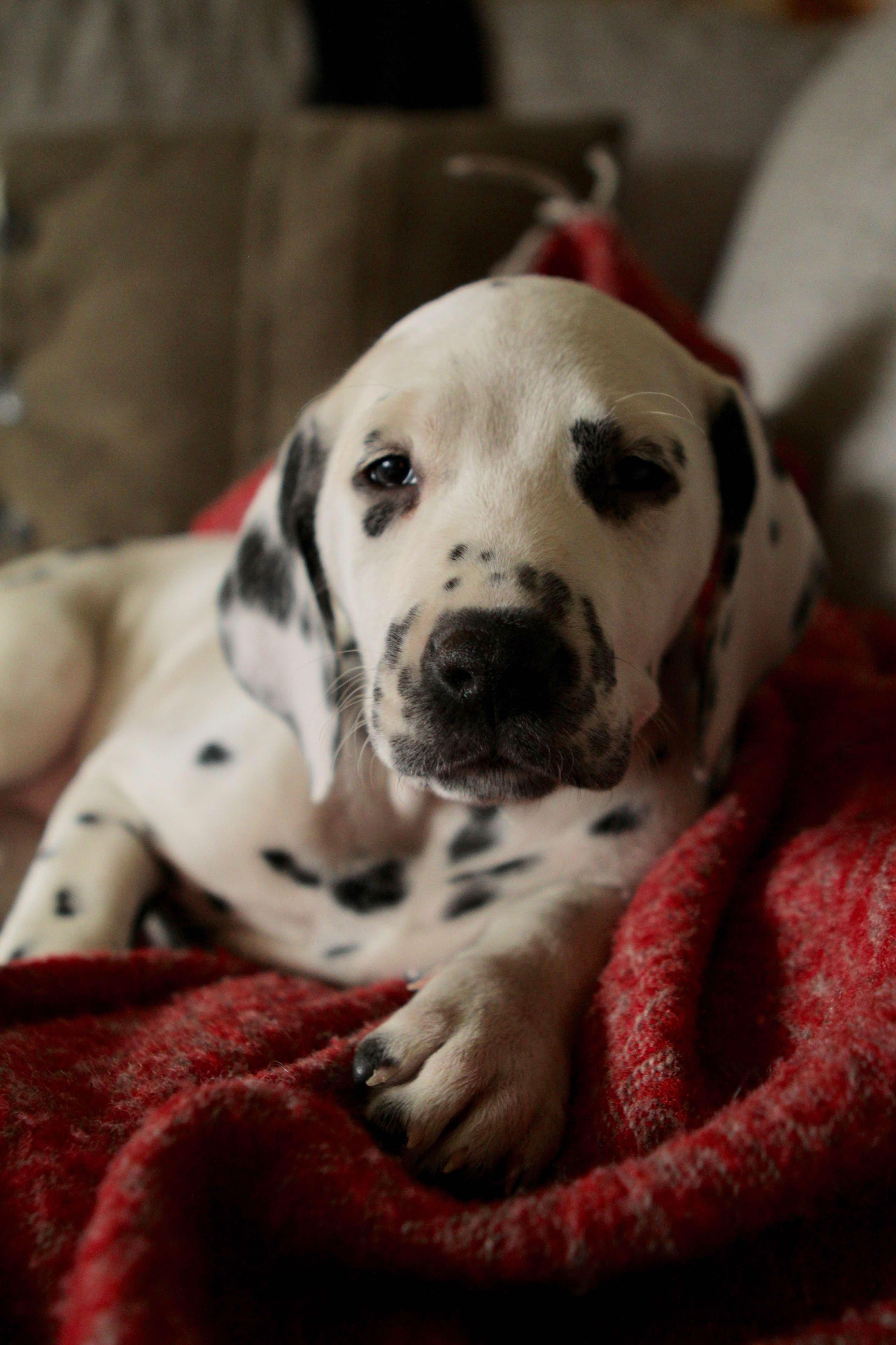 dalmatian puppy, sleeping puppy, puppy, dalmatian, dalmatialainen, koiranpentu, pentukoira, dog, small dog, dalmatialaisen pentuja, coastal Dalmatians