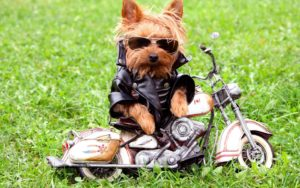 funny-dog…-yorkshire-terrier-i-4683