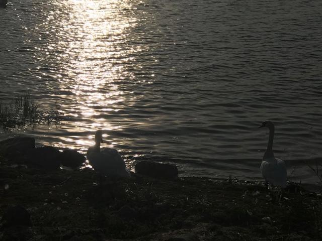 Joutsenet on jotenkin niin käsittämättömia lintuja. Suuria, valkoisia ja kovanpehmeitä.