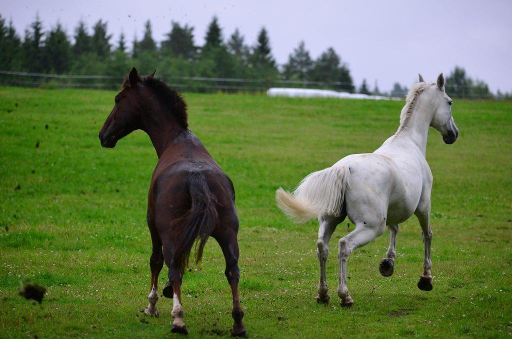 Kuka hevonen ei haaveile tästä? Parhaan kaverin kanssa villinä laitsalla?