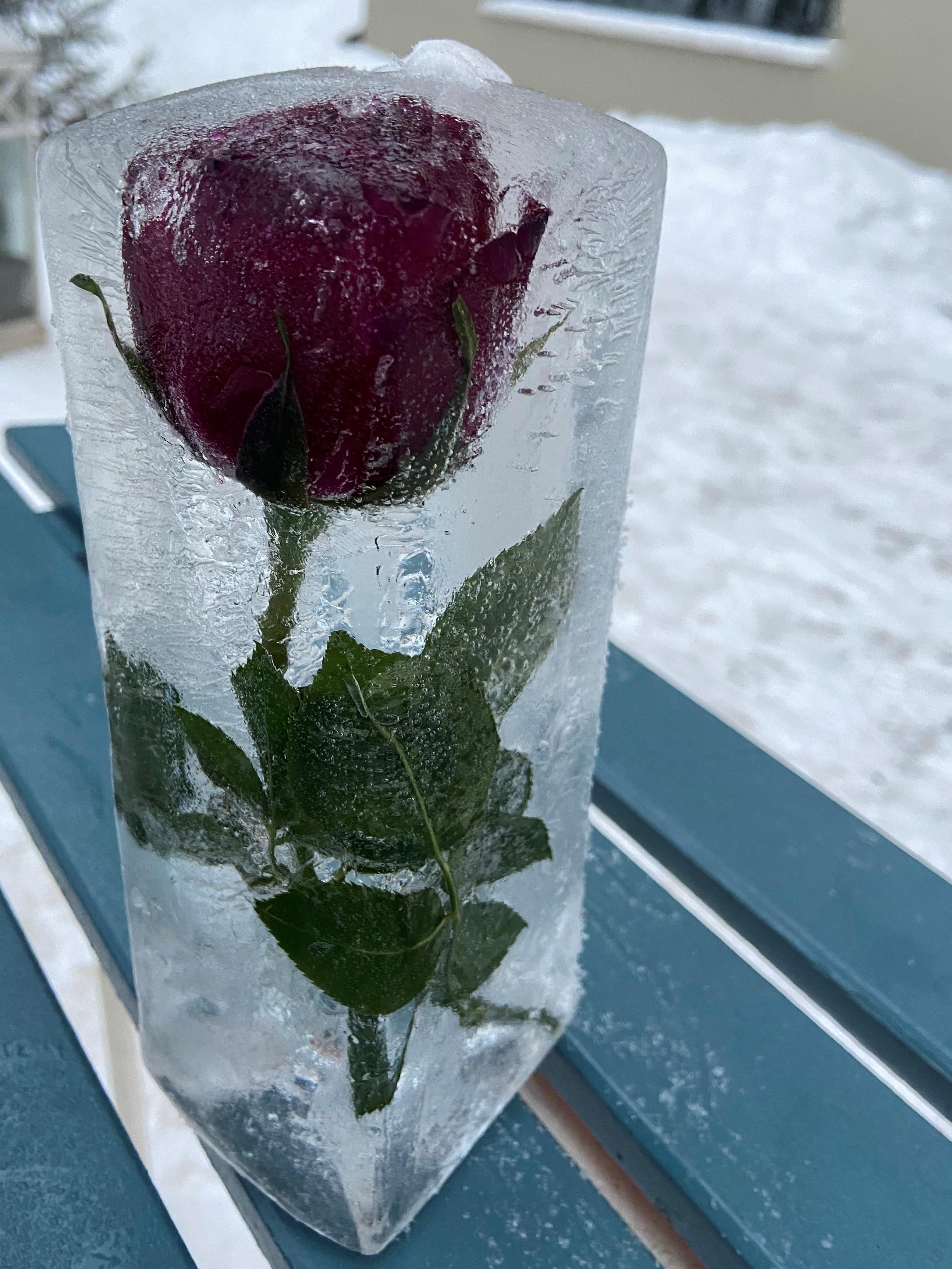 Ruusu kansainvälisen naistenpäivän kunniaksi.