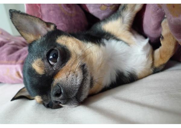 Chihuahuasta myyjävuosien nostalgiatripille