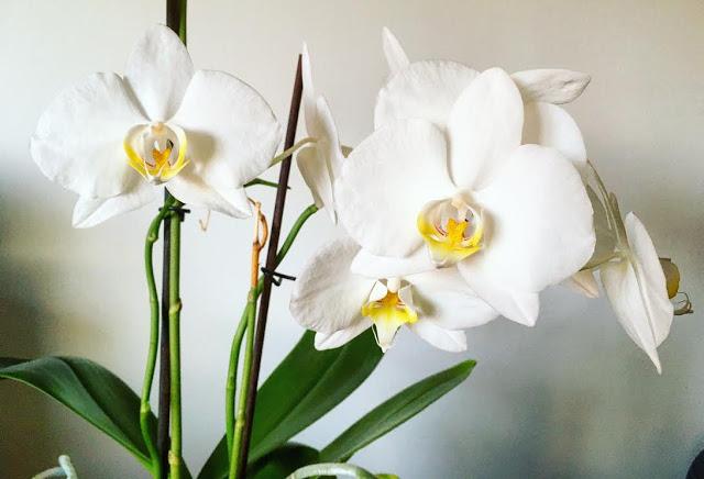 orkidea.jpg