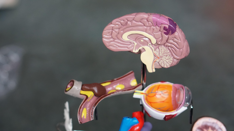 introvertti aivot