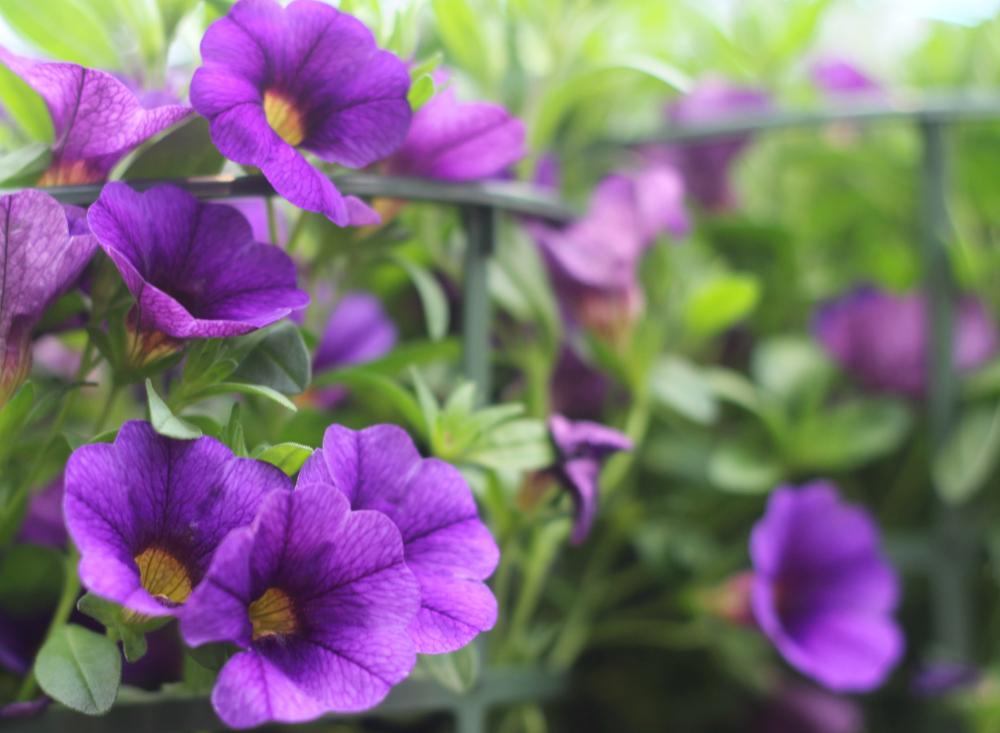 Liilat kukat