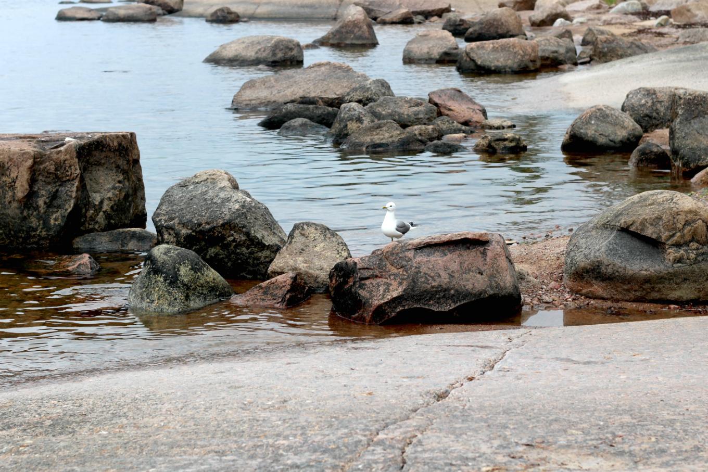 Lokki rantakivillä