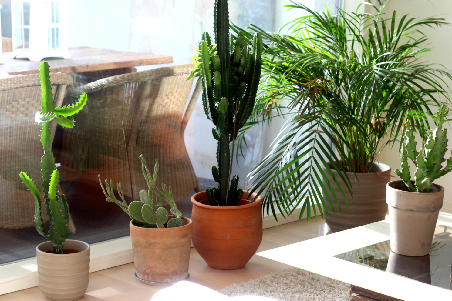 Kaktukset olohuoneessa