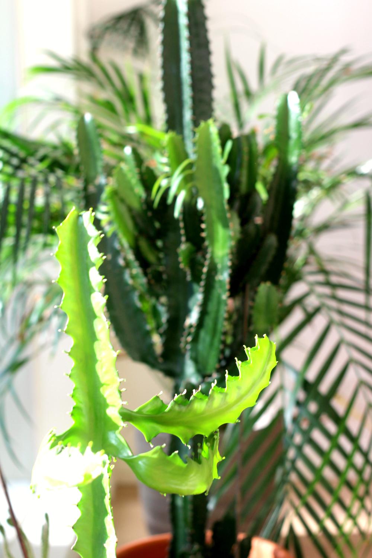 Kaktusten nopea kasvu