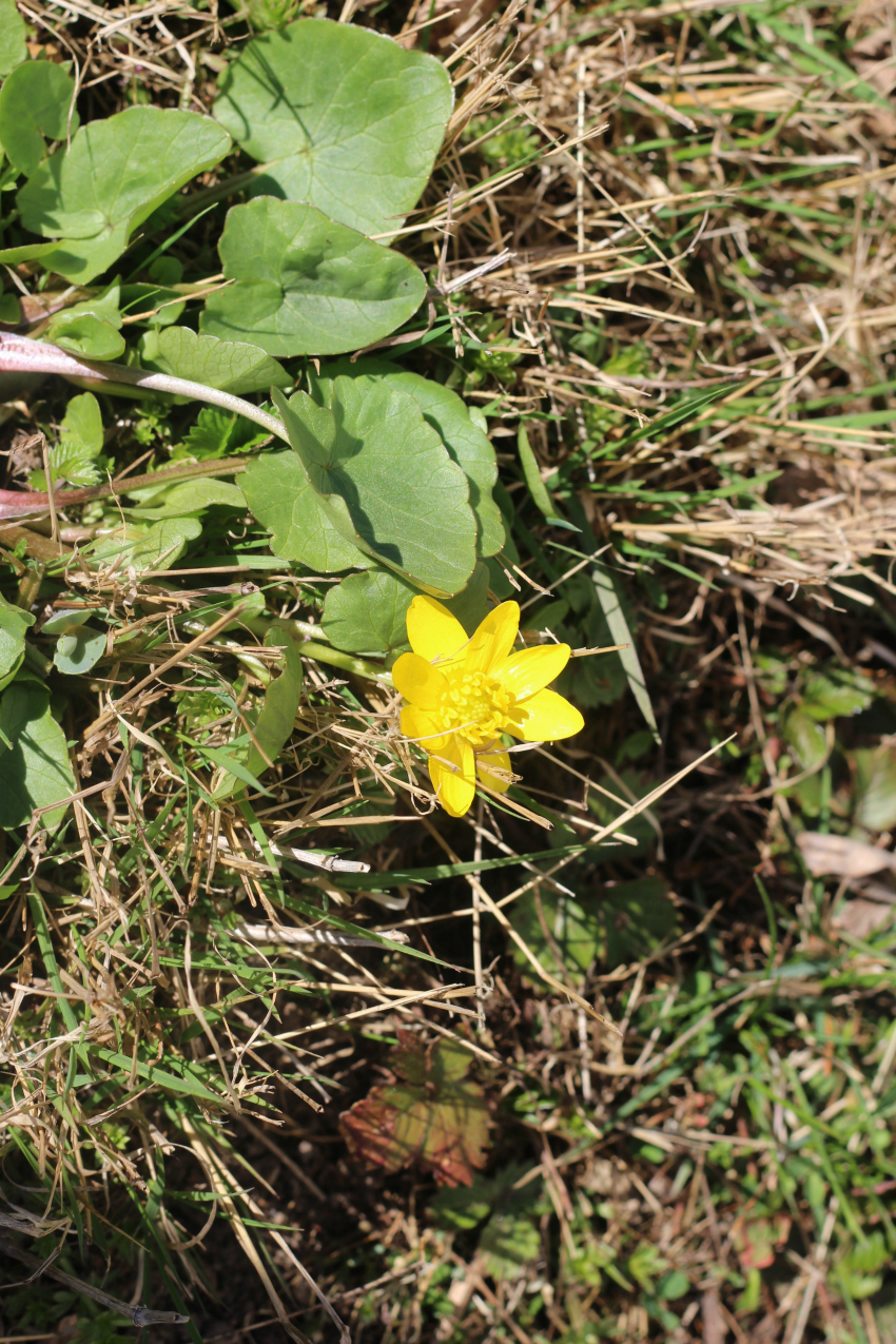 Keltainen kukka
